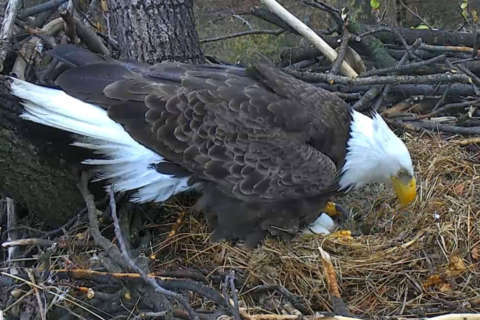 They're baaaack! DC Eagle cam returns