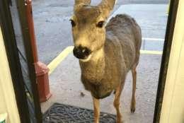 A deer is seen inside a store.