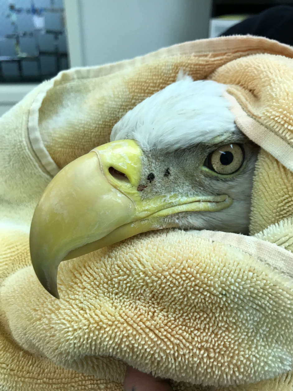 The eagle being treated for lead poisoning at City Wildlife. (Courtesy City Wildlife)