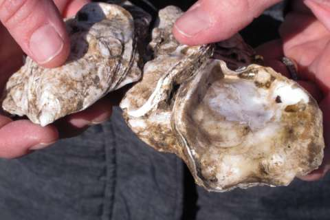 Maryland Senate boosts oyster shell recycling tax credit