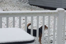 Scout keeps a watchful eye on the snow covered backyard. (WTOP/Darci Marchese)