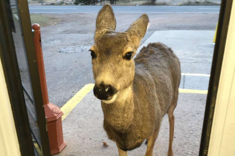 Deer me: 4-legged mama leads kids into Colo. store