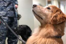 Goldie is one of the facility dogs at Walter Reed National Military Medical Center. Her handlers say she is a social butterfly. (WTOP/Kate Ryan)