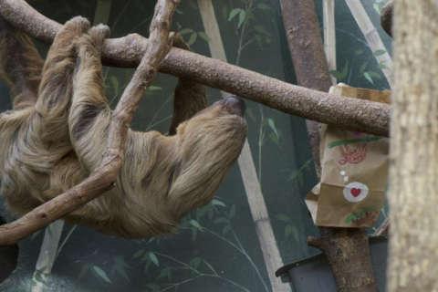 Elderly sloth Ms. Chips dies at National Zoo