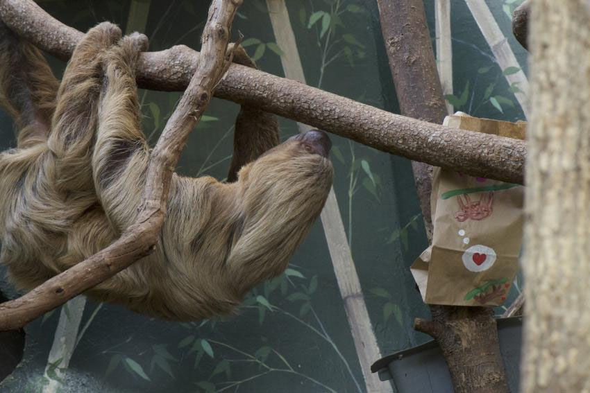 Two-toed sloth Ms Chips at the Smithsonian's National Zoo. (Courtesy Clyde Nishimura/Smithsonian's National Zoo)