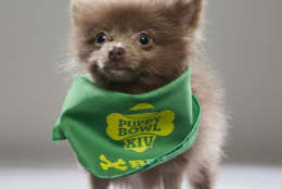 Morris from the Florida Little Dog Rescue. (Courtesy Animal Planet)