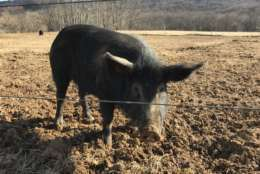 At Spring House Farm in Purcellville, Virginia, pigs are pasture-raised and then set free to forage on a nearby mountain. (WTOP/Rachel Nania)