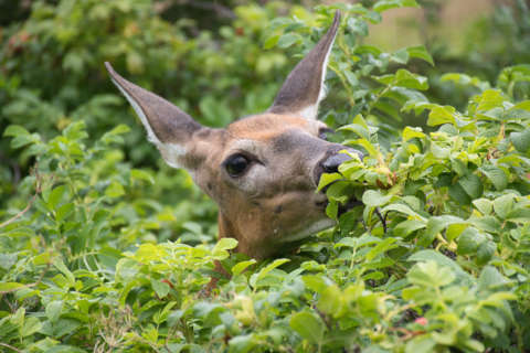 Of flora and fawns: How to keep deer from munching on your plants