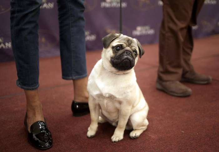 3,200 dogs set to strut at Westminster show next month | WTOP