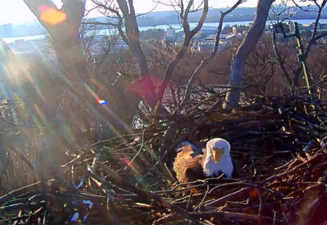 DC eaglet watch: 1 egg spotted; up to 2 more possible