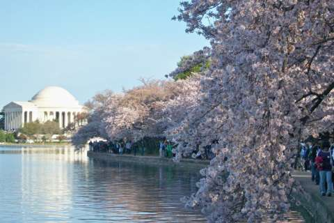 History behind DC's cherry blossoms began years before trees ever took root