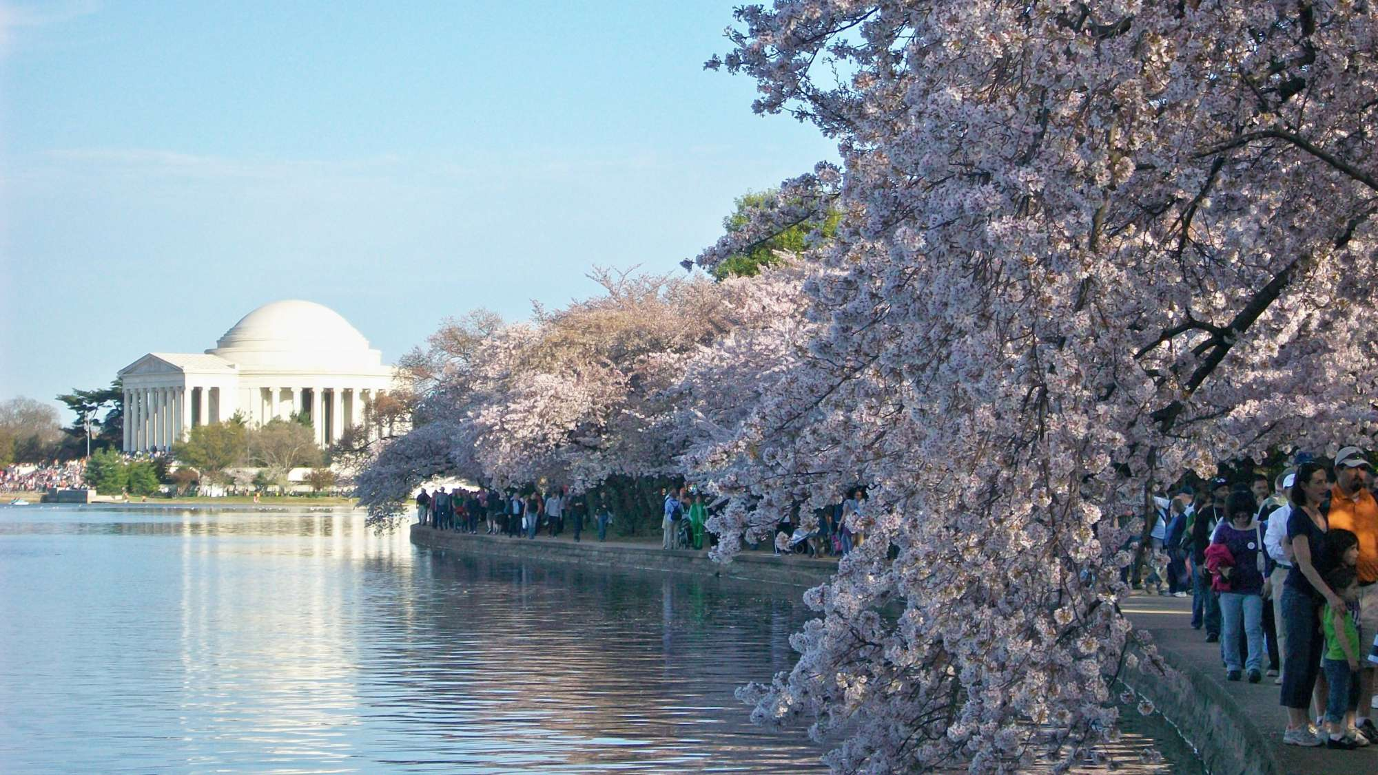 History Behind Dc S Cherry Blossoms Began Years Before Trees Ever Took Root Wtop