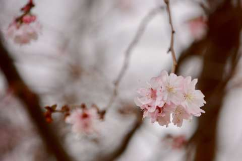 Warm winter triggers early cherry tree bloom on National Mall, but spares showstoppers