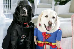 WASHINGTON - OCTOBER 31:  In this handout photo provided by The White House,Vice President Dick Cheney's Labrador retrievers Jackson (L) and Dave sit for photos at the Vice President's Residence at the Naval Observatory dressed for Halloween October 31, 2007 in Washington, D.C.  (Photo by David Bohrer/The White House via Getty Images)