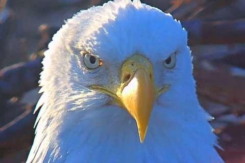 E-A-G-L-E-T — eaglet! A pair of DC eagles are expecting egg(s)
