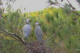 These birds, pictured Feb. 18, are perched 80 feet high in loblolly pine trees on Maryland's Eastern Shore. The nest's exact location is secret to help ensure they're not disturbed by curious bird enthusiasts. (Courtesy of the Chesapeake Conservancy)