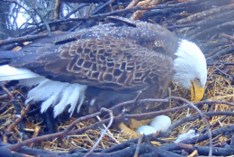 Photo shows an eagle with eggs