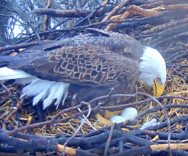 WATCH: Liberty lays her second egg of 2018
