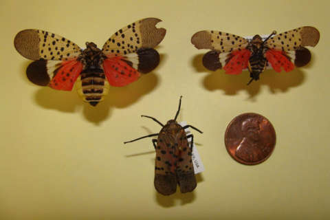 Fighting the spotted lanternfly: Don't use sticky traps outdoors