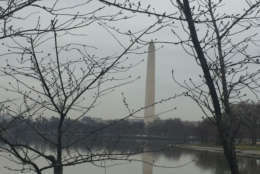 A strong cold snap could end up pushing back peak bloom. (WTOP/John Domen)