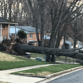 A tree is completely uprooted in Springfield, Virginia, by strong storm winds. (Courtesy Sarita Rijhwani)