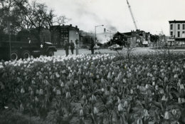 April tulips mingle in the shadow of smoldering ruins and armed troops. Reprinted with permission of the DC Public Library, Star Collection, © Washington Post.