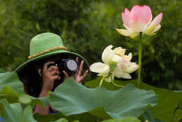 "A woman who did not wish to give her name photographs blooming lotus flowers at Kenilworth Park and Aquatic Gardens in Washington, Saturday, July 8, 2017. The week-long ""Lotus and Water Lily Festival"" begins, Saturday July 15, at the park. (AP Photo/Carolyn Kaster)"