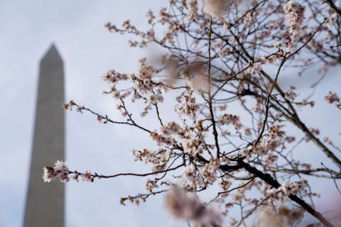 How do experts predict when the cherry blossoms will hit peak bloom?