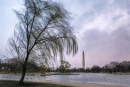 Willow trees surrounding the Constitution Gardens on the National Mall in Washington blow in the wind on a blustery day in the Nation's Capital, Friday, Mar. 2, 2018. (AP Photo/J. David Ake)