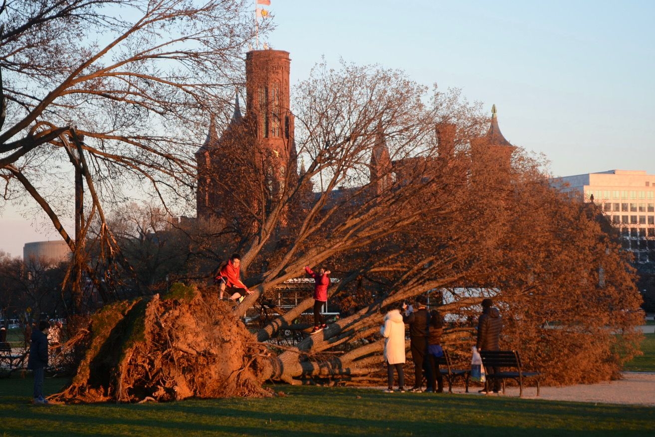 Visitors pose for photo in front of a large tree that toppled at the National Mall due to high winds. (WTOP/Dave Dildine)