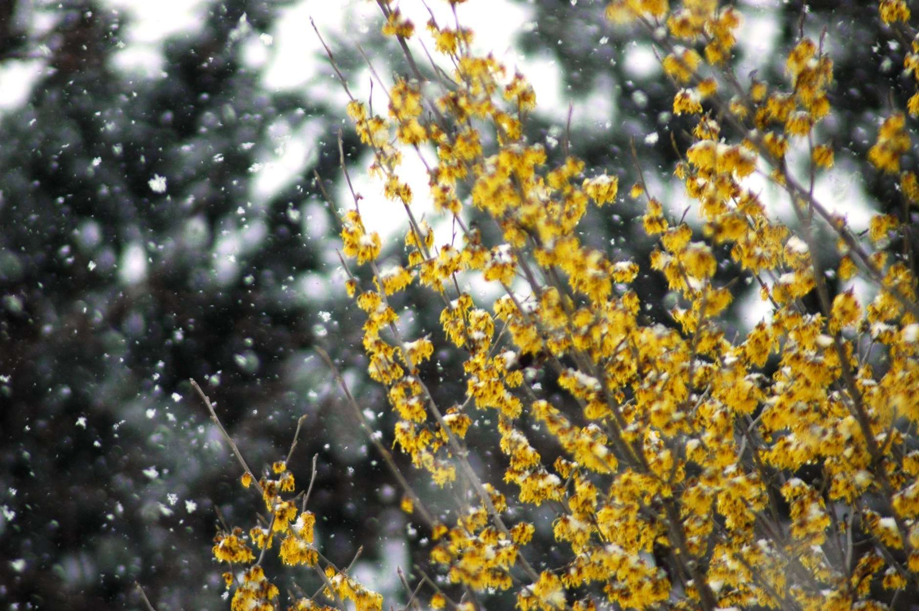 Snow falls on blooming forsythia shrubs during a snowstorm in early March 2014. (WTOP/Dave Dildine)