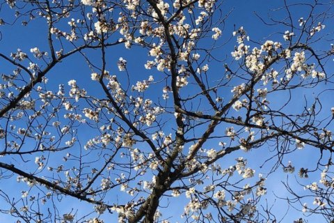 'Indicator' DC cherry blossom tree reaches full bloom