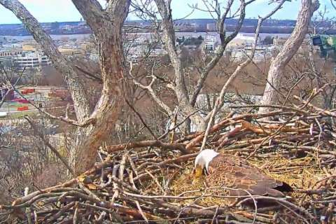 Watch: DC's bald eagles weather wind storm