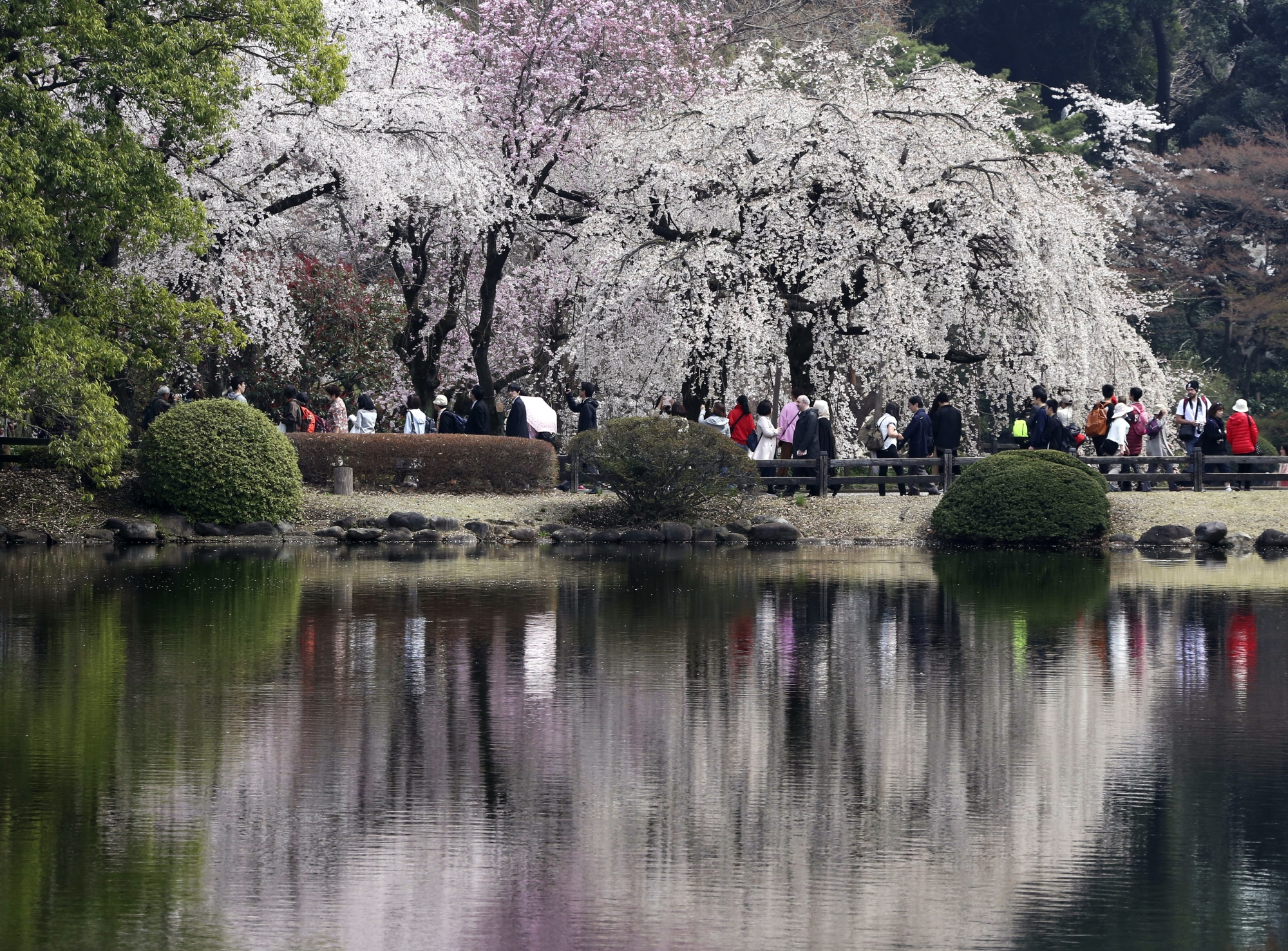 AP PHOTOS Cherry Blossoms Reach Full Bloom In Tokyo