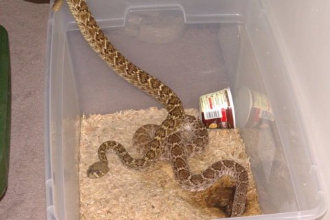 Md. man found guilty of possessing venomous snakes