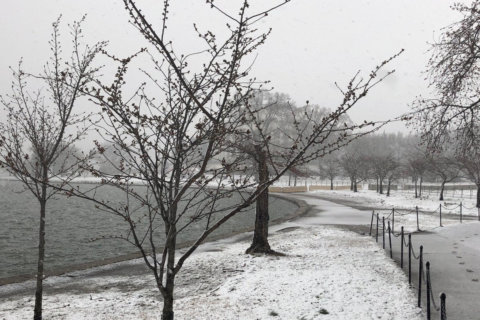 Cherry blossoms' peak bloom pushed back to April 8-12