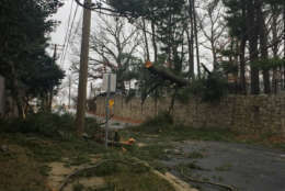 A big pine tree on the ground near Rockville Civic Center Park with down wires. (WTOP/John Domen)