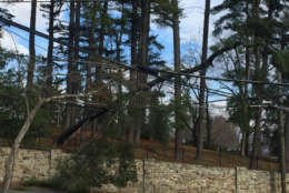 A pine tree hanging over Baltimore Road in Rockville, Maryland. Power crews were responding to the incident and had to move quickly when the tree started to topple. (WTOP/John Domen)
