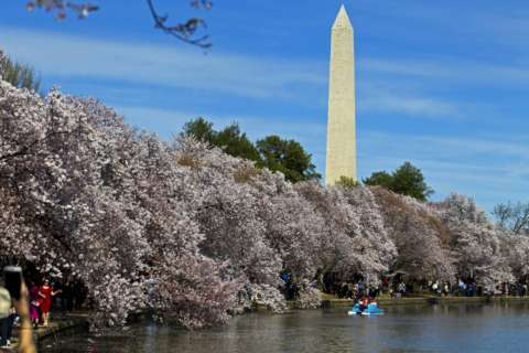 National Cherry Blossom Festival kicks off with opening ceremony
