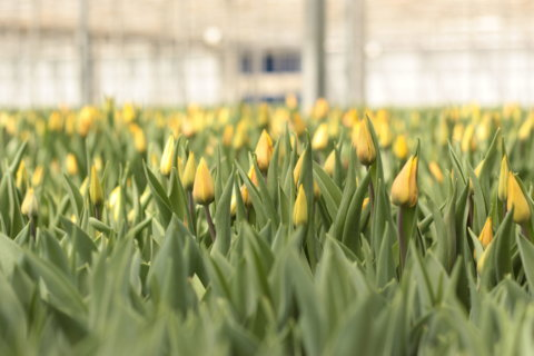 40,000 tulips go on display in downtown DC