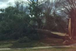 The winds downed a large tree in Fairfax. (Courtesy @whodatbruja via Twitter)