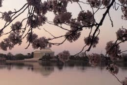 Cherry blossoms in bloom next to the Tidal Basin in Washington, D.C. (WTOP/John Domen)