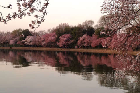 Cherry blossoms to reach peak early, if weather permits