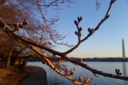 The peak bloom dates are still set for March 27-31. (WTOP/Kathy Stewart)