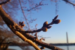 The Cherry Blossoms are still in the process of blooming and look pretty as of March 18. (WTOP/Kathy Stewart)