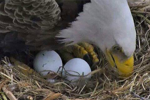 National Arboretum eagle lays second egg of season