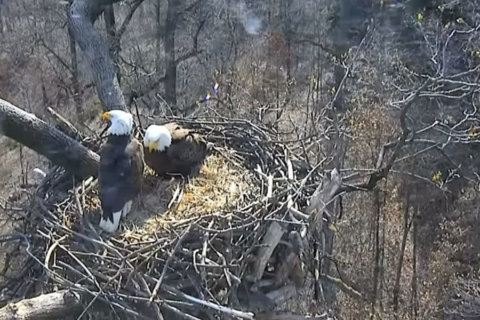 DC bald eagle couple Mr. President and First Lady welcome 1st egg of 2018