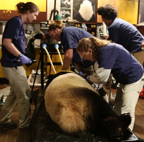 Veterinarians Dr. Kendra Bauer and Dr. Jessica Siegal-Willott attend to giant panda Mei Xiang sedated for artificial insemination. (Courtesy Amy Enchelmeyer)