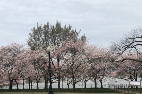 Cherry blossoms' peak bloom nears, but winds could wreak havoc