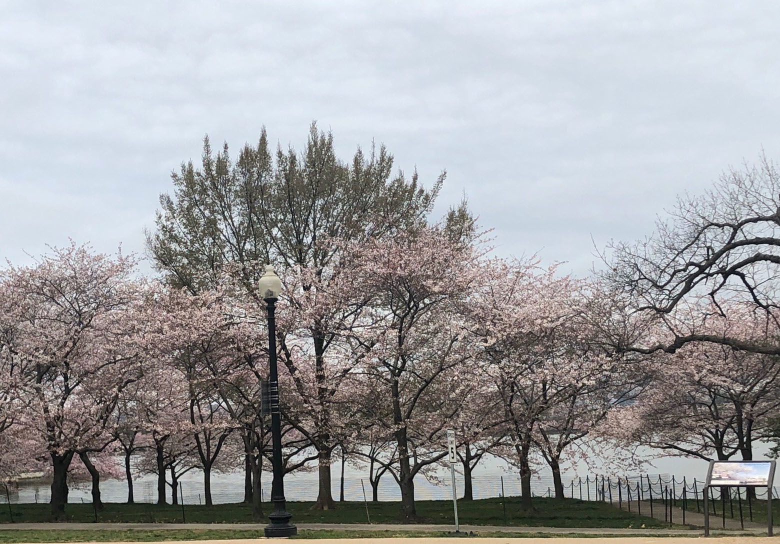 About 20 percent of the Yoshino cherry trees that line the Tidal Basin are now at full blossom, meaning the official bloom period has begun. Peak bloom -- when 70 percent of trees are at full bloom -- is projected for April 5-8. (Courtesy National Park Service)